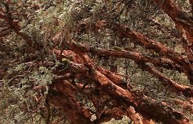 quinquina-arbre.2